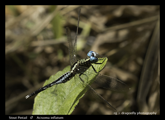 Stout Pintail (m) Acisoma inflatum 8-3710 Web