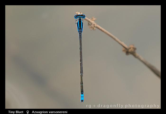 Tiny Bluet (f) Azuagrion vansomereni