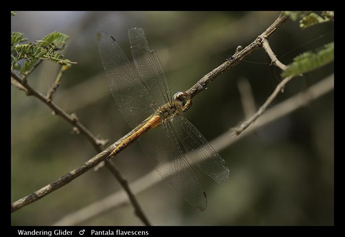 Wandering Glider (aged m) Pantala flavescens 3850 Web
