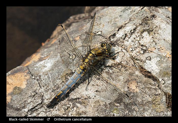 Black-tailed Skimmer (m) Orthetrum cancellatum WP 8-4443