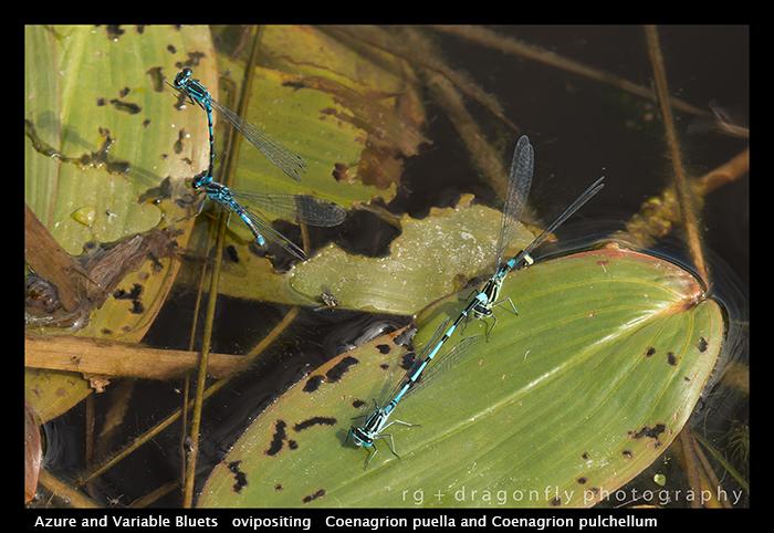 Coenagrion puella Coenagrion pulchellum (ovi) WP 8-4459