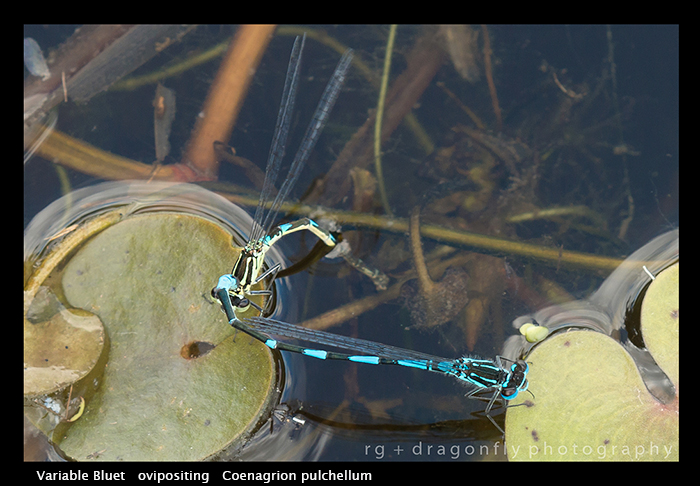Coenagrion pulchellum (in cop) Variable Bluet WP 8-4518