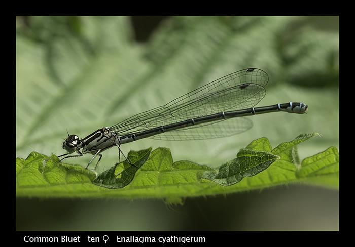 Common Bluet ten f Enallagma cyathigerum WP 8-4211
