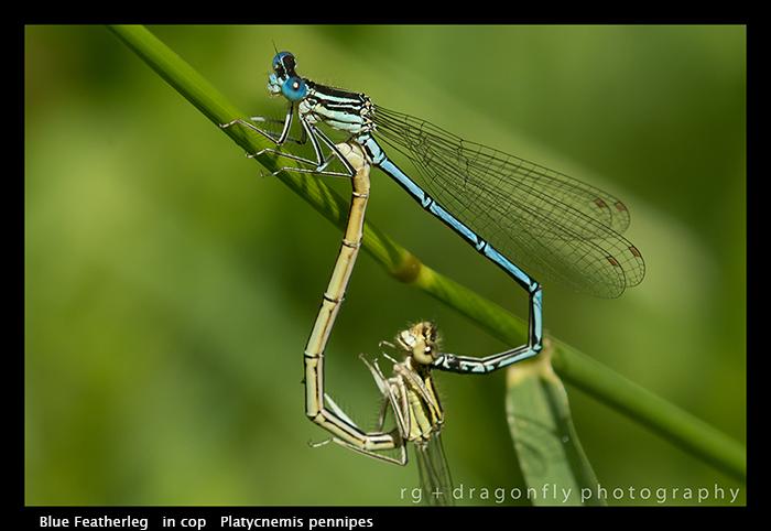 Platycnemis pennipes (in cop) Blue Featherleg WP 8-4508