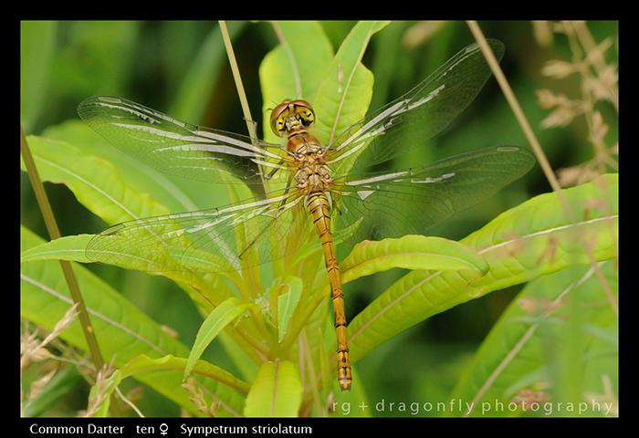 Sympetrum striolatum (ten f) Common Darter 3-6862 WP