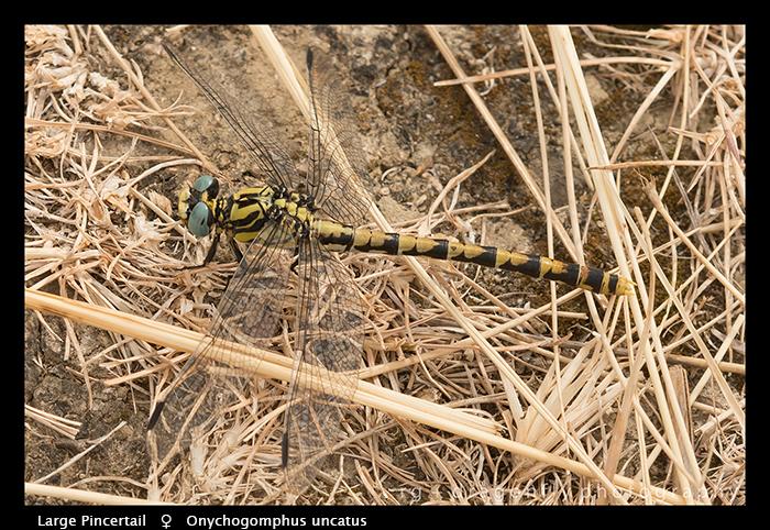 Onychogomphus uncatus (f) Large Pincertail WP 8-4774