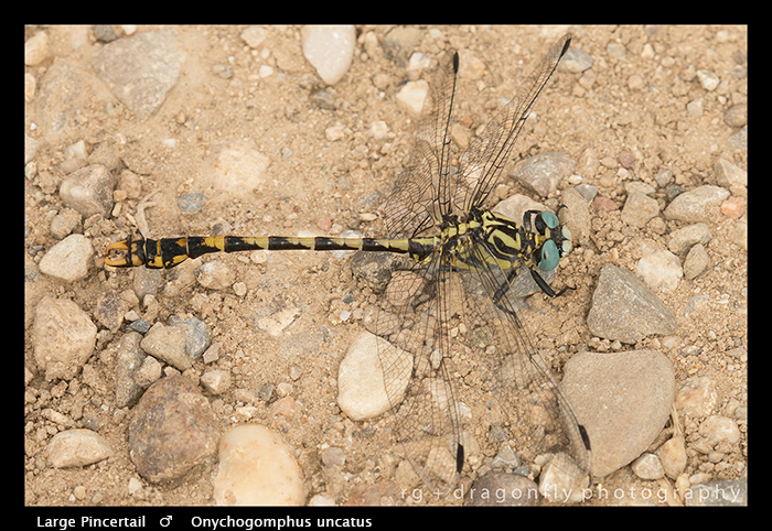 Onychogomphus uncatus (m) Large Pincertail WP 8-4753