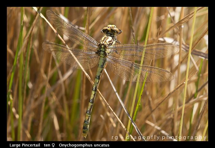 Onychogompus uncatus (ten f) Large Pincertail WP 8-4949