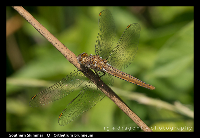 Orthetrum brunneum (f) Southern Skimmer WP 8-4840