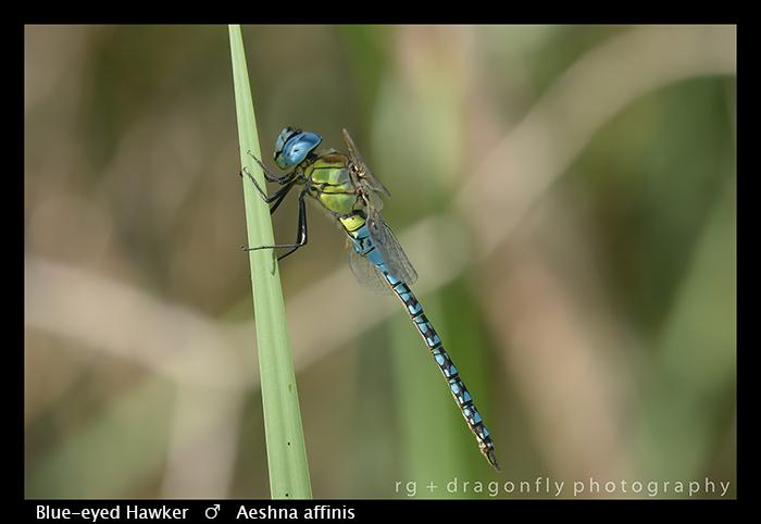 Blue-eyed Hawker - (m) - Aeshna affinis WP 8-3-8292