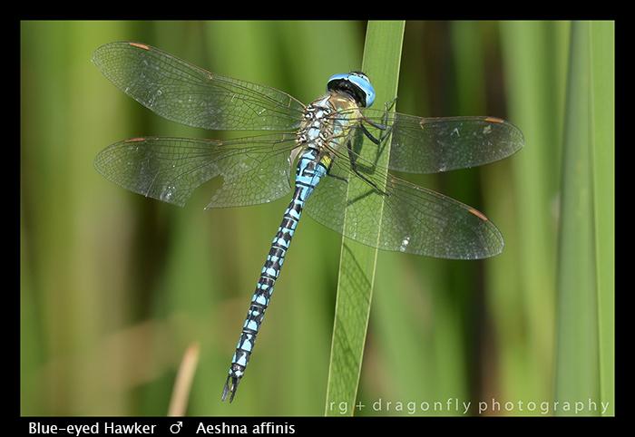 Blue-eyed Hawker - (m) - Aeshna affinis WP 8-3-8524