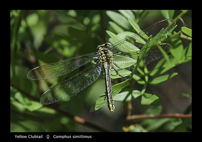 Gomphus simillimus (f) Yellow Clubtail WP 3-5802 A4