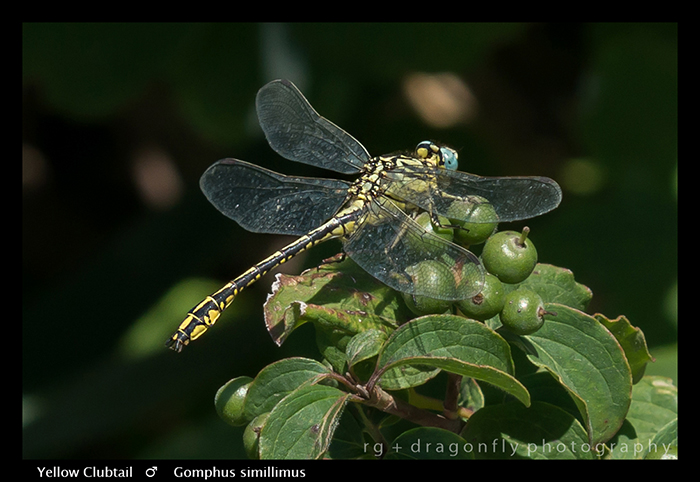 Gomphus simillimus (m) Yellow Clubtail WP 8-4891