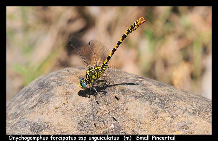 Onychogomphus forcipatus ssp unguiculatus (m) Small Pincertail WP D 5746 A