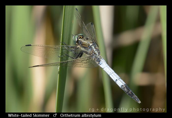 Orthetrum albistylum (m) White-tailed Skimmer WP 8-8545