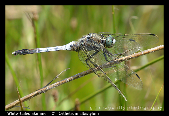Orthetrum albistylum (m) White-tailed skimmer WP 8-8484