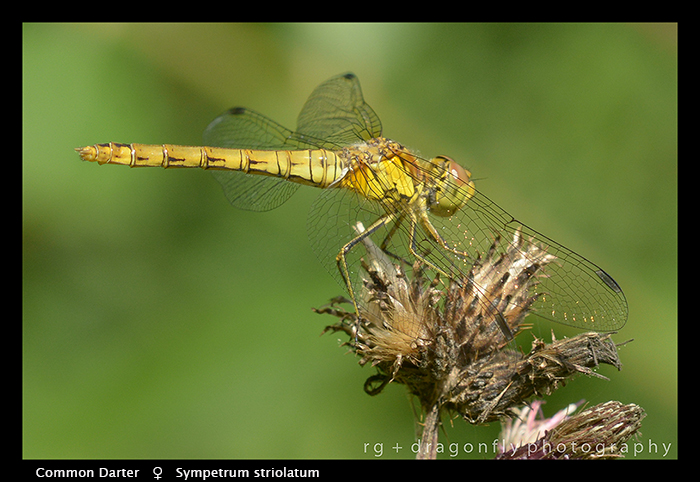 Symperum striolatum (f) Common Darter WP 8-5153