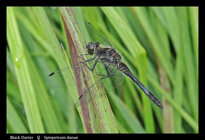 Sympetrum danae (m) Black Darter WP D 2 CS5