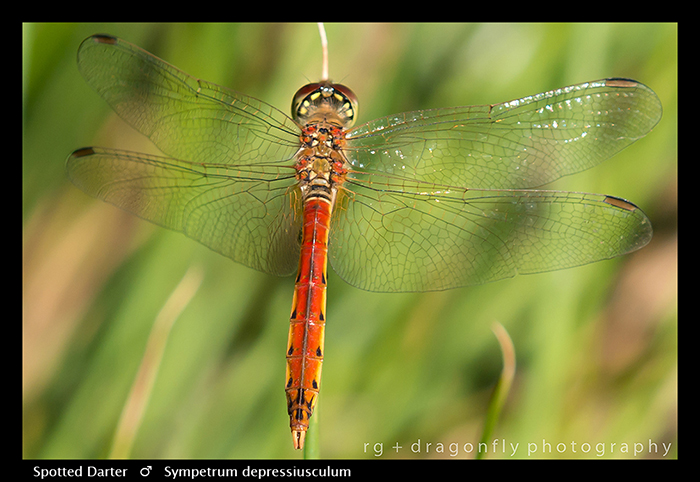Sympetrum depressiusculum (m) Spotted Darter WP 8-5017