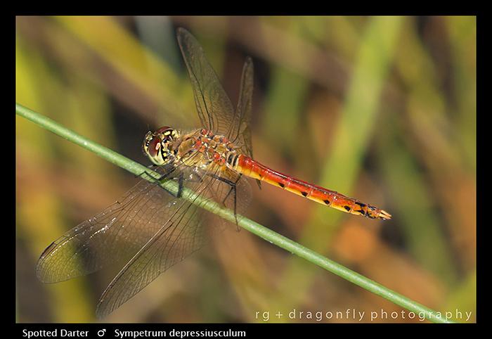 Sympetrum depressiusculum (m) Spottted Darter WP 8-5014