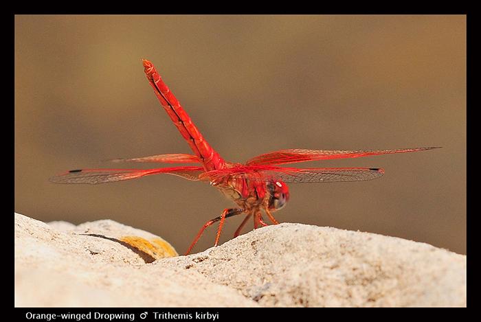 Trithemis kirbyi (m) Orange-winged Dropwing WP 5798 A