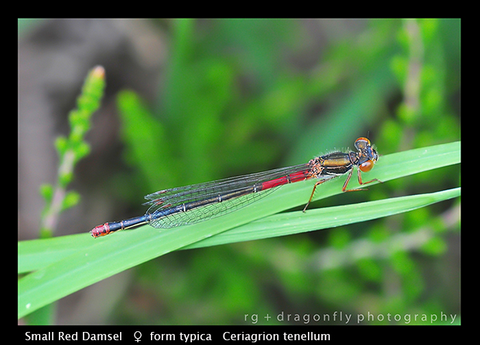 Ceriagrion tenellum (f) f.typica Small Red Damsel WP D 4299 CS5-1-2