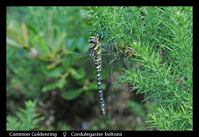 Cordulegaster boltonii (m) Common Goldenring WP D 4521 A CS5