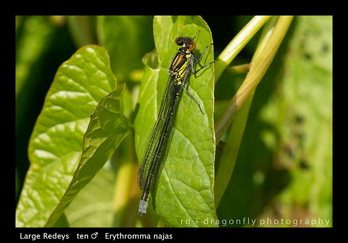 Erythromma najas (ten m) Large Redeye WP 8-4329