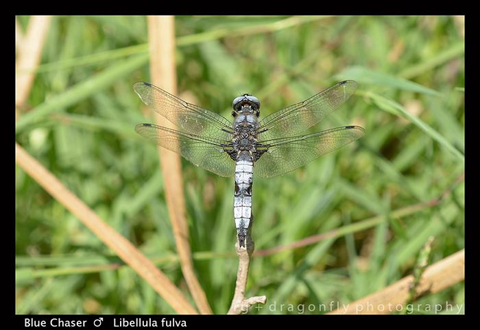 Libellula fulva (m) Blue Chaser WP 8-0491-1