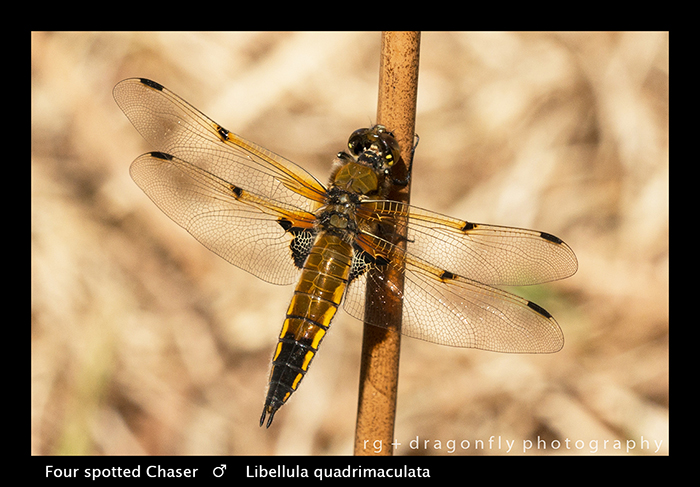 Libellula quadrimaculata (m) Four spotted Chaser WP 8-4252