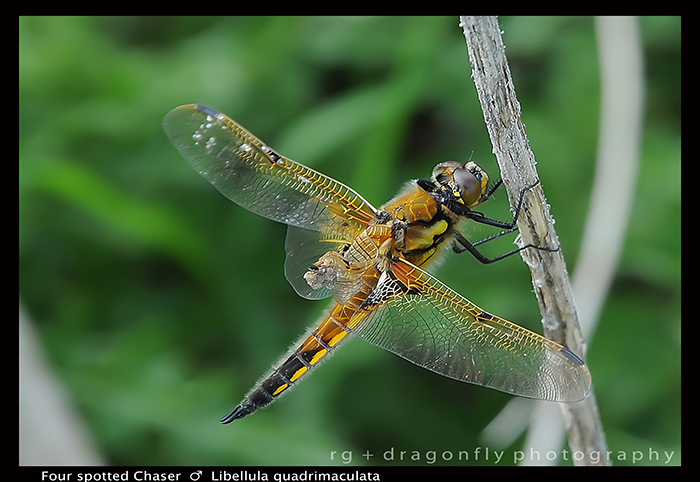 Libellula quadrimaculta Four spotted chaser WP D 1 CS5-1