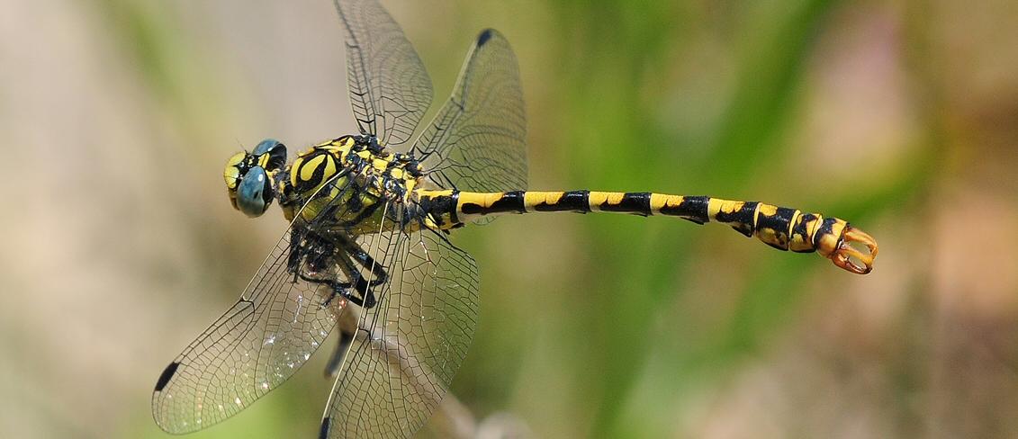 Onychogomphus forcipatus ssp unguiculatus (m) Small Pincertail D 5738