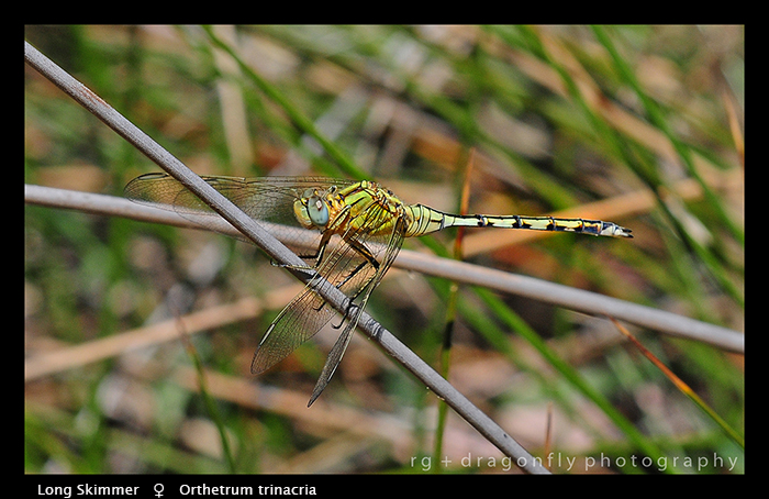 Orthetrum trinacria (f) Long Skimmer WP D 5670_