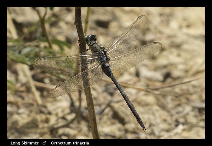 Orthetrum trinacria (m) Long Skimmer WP 3922