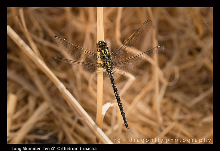 Orthetrum trinacria (ten m) Long Skimmer 8-0904 WP