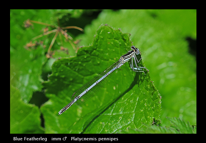 Platycnemis pennipes ( ten m ) Blue Featherleg WP D 3950 A CS5
