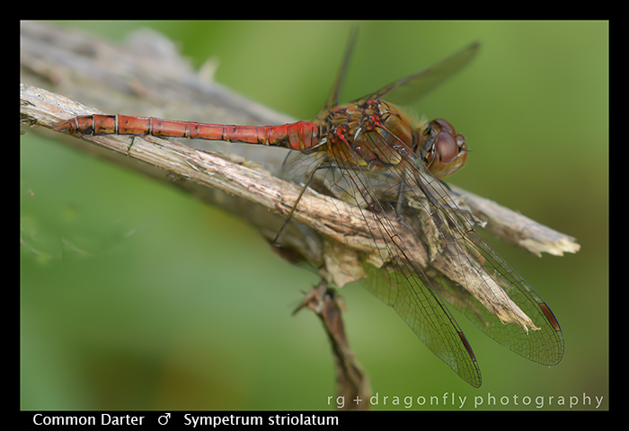 Sympertum striolatum (m) Common Darter WP 8-5215-2