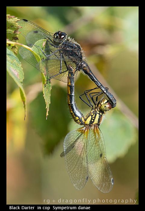 Sympetrum danae 9in cop) Black Darter 8-5310