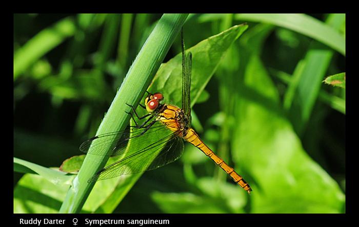Sympetrum sanguineum (f) Ruddy Darter WP D 4632 CS5