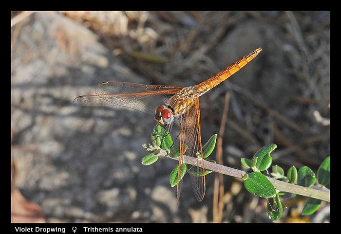 Trithemis annulata (f) Violet Dropwing WP D CS5