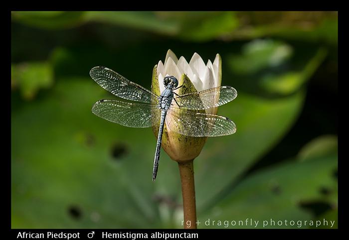 afican-piedspot-m-hemistigma-albipunctum-wp-8-5818