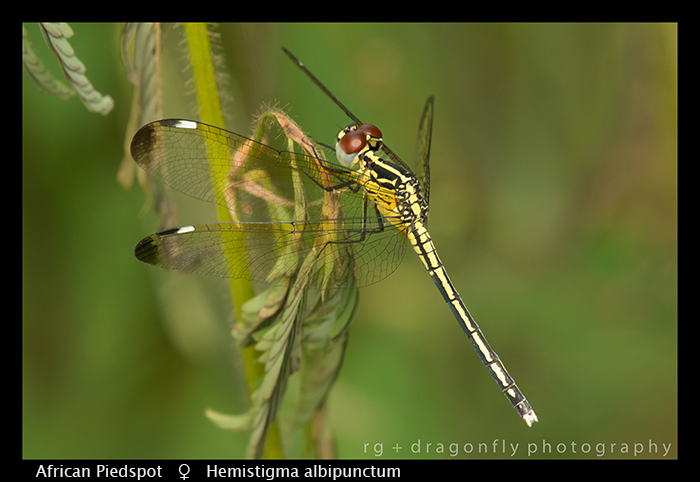 african-piedspot-f-hemistigma-albipunctum-wp-8-6056