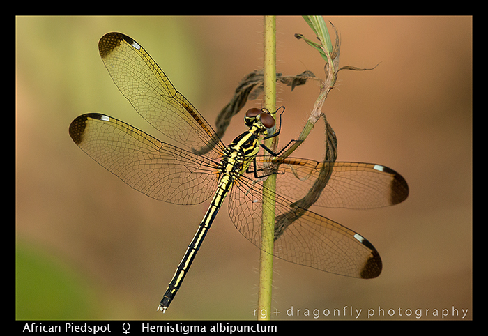 african-piedspot-f-hemistigma-albipunctum-wp-8-6371