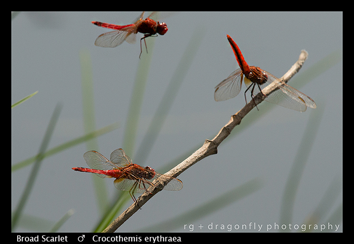 broad-scarlet-crocothemis-erythraea-wp-8-6389