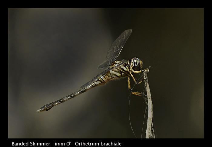 Orthetrum brachiale (imm m) Banded Skimmer Web