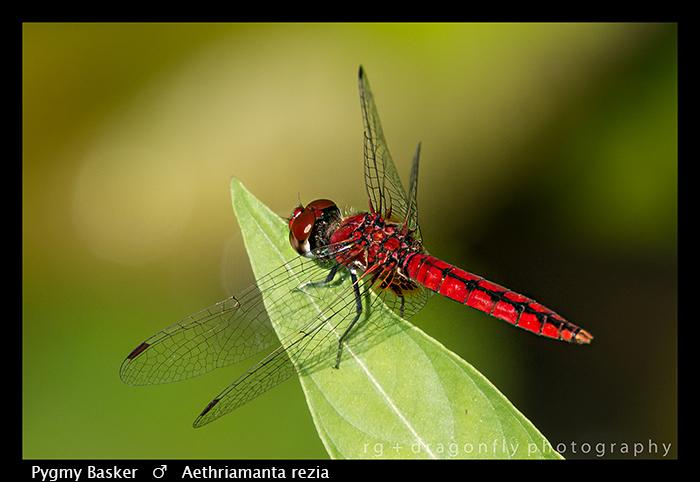 aethriamanta-rezia-m-pygmy-basker-wp-8-5828