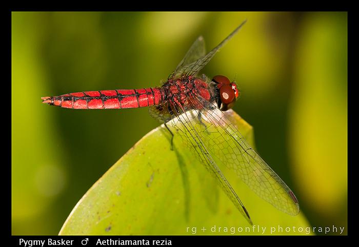 aethriamanta-rezia-m-pygmy-basker-wp-8-6330