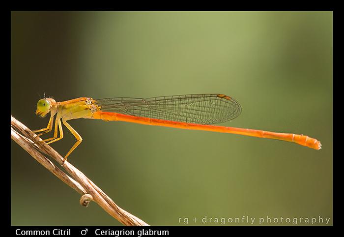 common-citril-m-ceriagrion-glabrum-wp-8-6383