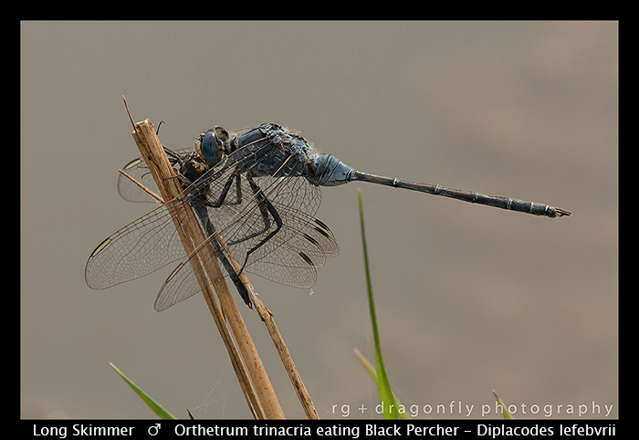 orthetrum-trinacria-m-long-skimmer-eating-dip-wp-8-5925