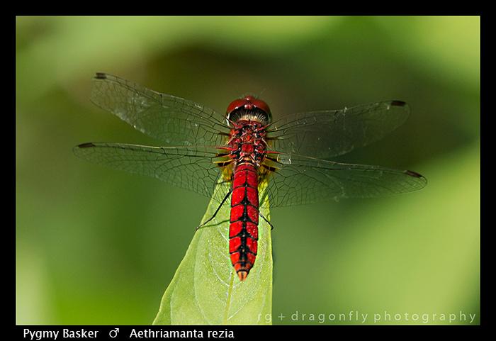 pygmy-basker-m-aethriamanta-rezia-wp-8-5814
